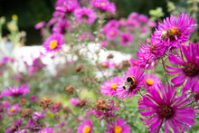 Shallow Focus Of A Wild Bumble Bee Seen Gathering Nectar From Wild Purple Flowers In A Summer Garden. These Bees Are Particularly Endangered.