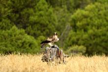 Aguila Calzada Con Una Presa Sobre El Tronco De Madera