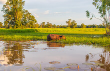 Thai Water Buffalo In Isaan Somewhere In Sisaket Province Thailand Southeast Asia