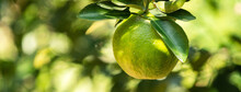 Fresh Ripe Tangerine Orange On The Tree In The Orange Garden Orchard.
