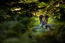 02.09.2021, GER, Bayern, Neuschönau: Schwarzstorch (Ciconia Nigra) Im Tierfreigelände Im Nationalpark Bayerischer Wald Am Lusen.
