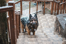 German Shepherd Dog Standing On The Stairs Covered With Snow.
