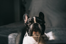 Cute French Bulldog Lying On Sofa In Sunlight
