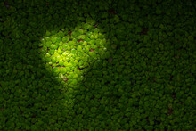 Sunbeam In The Shape Of A Heart On A Juicy Green Duckweed On A Summer Sunny Day