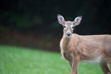 A Closeup Of A Female White Tailed Deer Looking At The Camera.