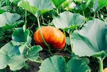 One Large Mature Orange, Round Pumpkin Grows In The Garden.