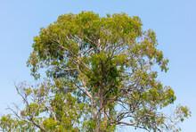 Eucalyptus Tree On A Background Of Blue Sky