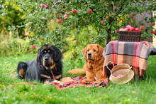 Two Large Dogs Lie Under An Apple Tree On A Blanket With Baskets Of Ripe Apples. Selective Focus On Ginger Dog