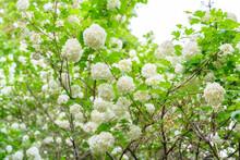 Blooming Spring Flowers. Large Beautiful White Balls Of Blooming Viburnum Opulus Roseum Boule De Neige. White Guelder Rose Or Viburnum Opulus Sterilis, Snowball Bush, European Snowball.