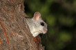 canvas print picture An Acacia tree rat (Thallomys paedulcus) in natural habitat, South Africa.