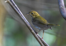 Scenic View Of An Ovenbird Perched On A Wooden Branch On A Blurred Background