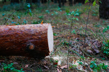 Defocus Log Of Pine Tree In Autumn Forest. Saw Cur Wood. Saw Cut Of A Large Pine Tree. Nature Wood Outside, Outdoor. Side View. Sawmill Industry. Out Of Focus