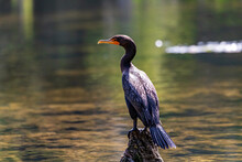 Double Crested Cormorant, Wakulla Springs, FL