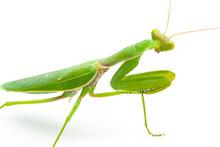 Green Praying Mantis Isolated On White Background