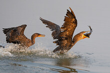 A Pair Of Double-crested Cormorants Fighting Over Big Fish