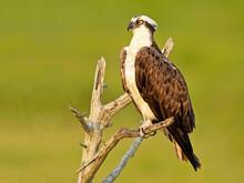 Osprey Sitting In A Tree In The Marsh