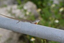 Brown Anole Lizard Male Displaying Dewlap
