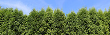 Green Hedge  From  Evergreen Coniferous  Trees Against On Tje Sky