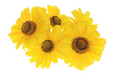 Yellow Garden Decorative  Sunflowers  Isolated
