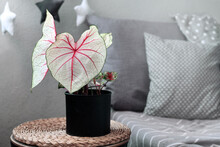 Exotic 'Caladium White Queen' Plant With White Leaves And Pink Veins