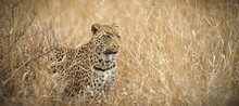Leopard On The Prowl In Kruger Park, South Africa  A Young Male Leopard Looking For A Meal In The Tall Grass