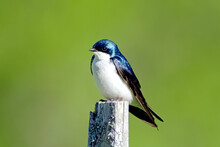 Tree Swallow - Perched