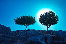 Silhouette Of Two Olive Trees On A Rock At Night