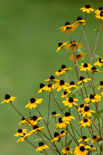 Black Eyed Susan Flowers, Rudbeckia, Against Soft Green Background Copy Space