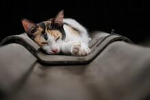 Thai Calico Cat, Three Color Cute Cat Sleeping On Fiber Cement Roof Of House