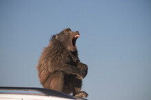 Wild African Life. A Large Male Baboon Sitting  On The Car Roof On A Sunny Day