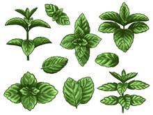 Green Mint Leaves. Sketch Peppermint Herb, Spearmint Plant. Melissa Menthol Leaf Vintage Hand Drawn Vector Botanical Isolated Set
