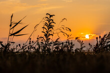 Close Up Photo Of Grass Silhouettes During Sunset In Summer In The Coast. Study Of Grass During Golden Hour At Beach.