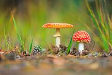 Amanita Muscaria, Fly Agaric Or Fly Amanita Basidiomycota Muscimol Mushroom, Dreamlike Soft Focus And Setting