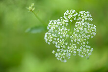 Beautiful Umbrella Inflorescences. Close Up Photo