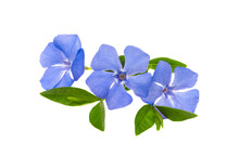 Beautiful Periwinkle Flower Isolated