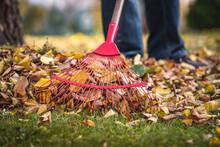 Raking Leaves From Lawn In Garden. Rake Closeup. Autumn Gardening
