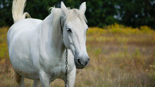 Close-up Portrait Of A White Horse. Beautiful Horse On Dry Grass In The Field. Arabian Horse Standing In An Agriculture Field With Dry Grass In Sunny Weather. Strong, Hardy And Fast Animal.