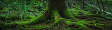 Wide Panorama View Of The Roots Of An Old Fir Tree Covered In Green Moss