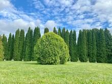Thuja Occidentalis American Pillar Shrub. American Pillar Arborvitae Evergreen Bushes With Bright Green Feathery Dense Foliage.