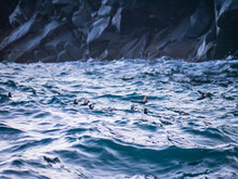 Puffins In The Waves, Ramsey Island, Pembrokeshire