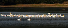 A Pod Of White Pelicans Drift Lazily On The Lake In Search Of Fish To Quench Their Hunger