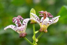 Toad Lilies Star-like White Blossoms With Reddish Purple Spots They Are Reminiscent Of Orchids And Are Ideal For Shady Gardens Or Moist Woodland And Bloom When Other Plants Are Finished For The Season