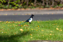 Magpie Walking On The Grass Field