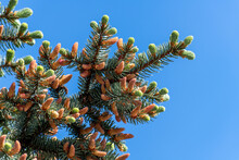 Many Young Spring Cones On A Spruce Branch