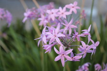 Lbaghia Violacea, Known As Society Garlic  Is A Species Of Flowering Plant In The Family Amaryllidaceae, Indigenous To Southern Africa And Reportedly Naturalized In Tanzania And Mexico.