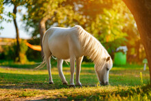 Little Palomino Pony Horse With White Mane Grazes On The Lawn And Eats Green Grass At Sunset
