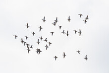 Flock Of Gadwall Ducks (anas Strepera) In Flight With Spread Wings