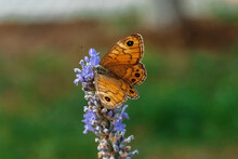 A Yellow Butterfly On A Lavender Flower. Macrophotography Of Insects. Natural Background.