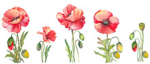 Set Of Red Poppy Flowers. Watercolor Illustration On White Background.