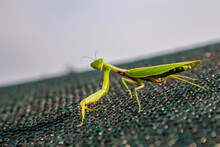 Female Mantis On The Island In Summer.